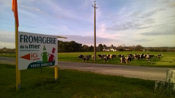 Les vaches pie noir de race Holstein de la ferme de Krilio - Fromagerie de la mer