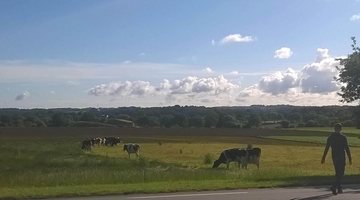 Guillaume part chercher le lait à pied pendant que les vaches patûrent.