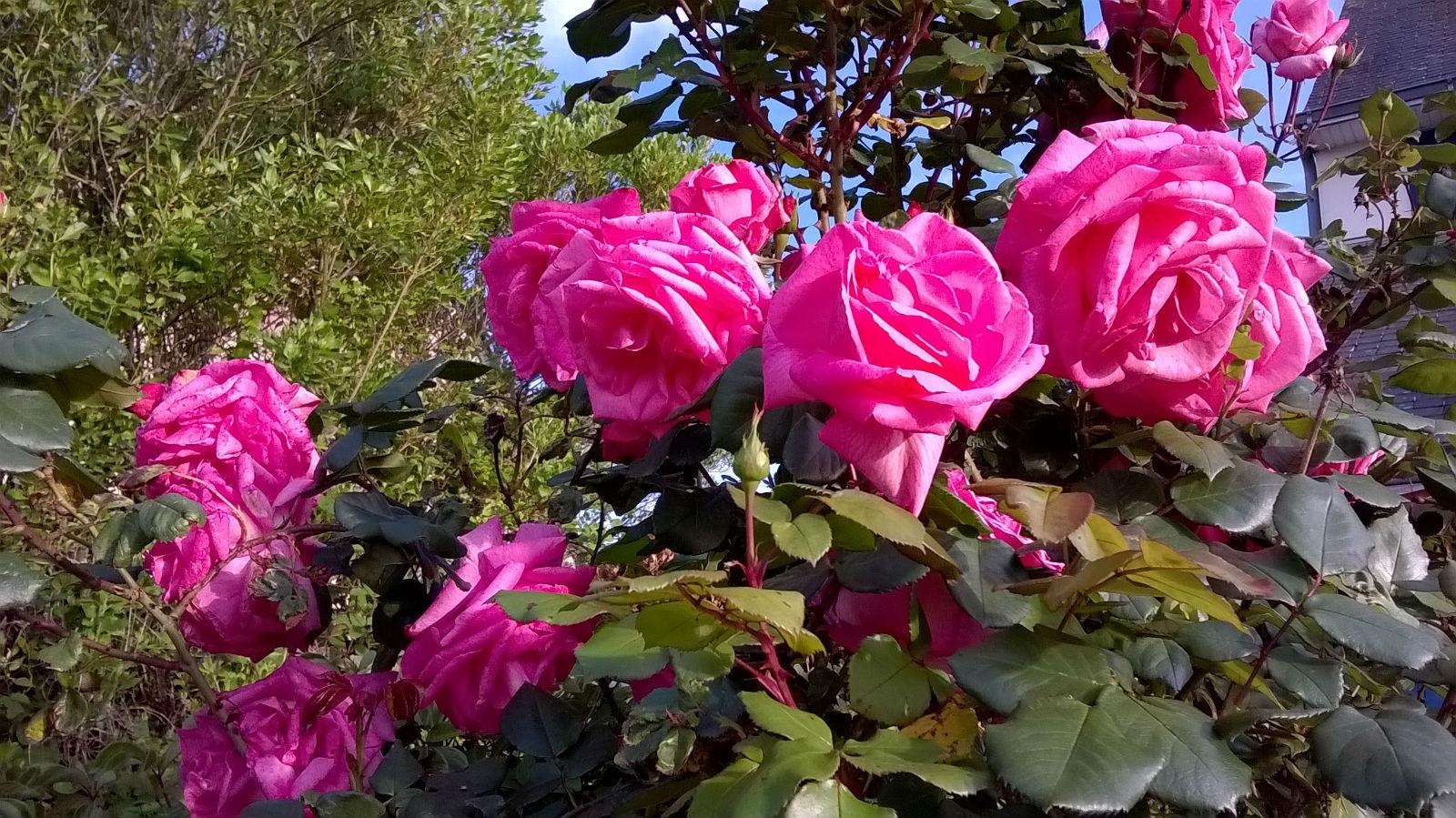Le vieux rosier de la Fromagerie a 20 ans.