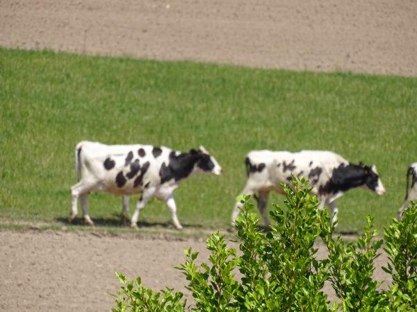 C'est l'heure de la traite pour les pie noire Holstein de la fromagerie de la Mer