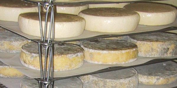 Affinage des tommes de Baden fromagerie de la Côte