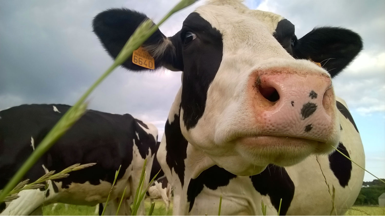 Les pie noir de la ferme de Kerilio broutent en liberté!
